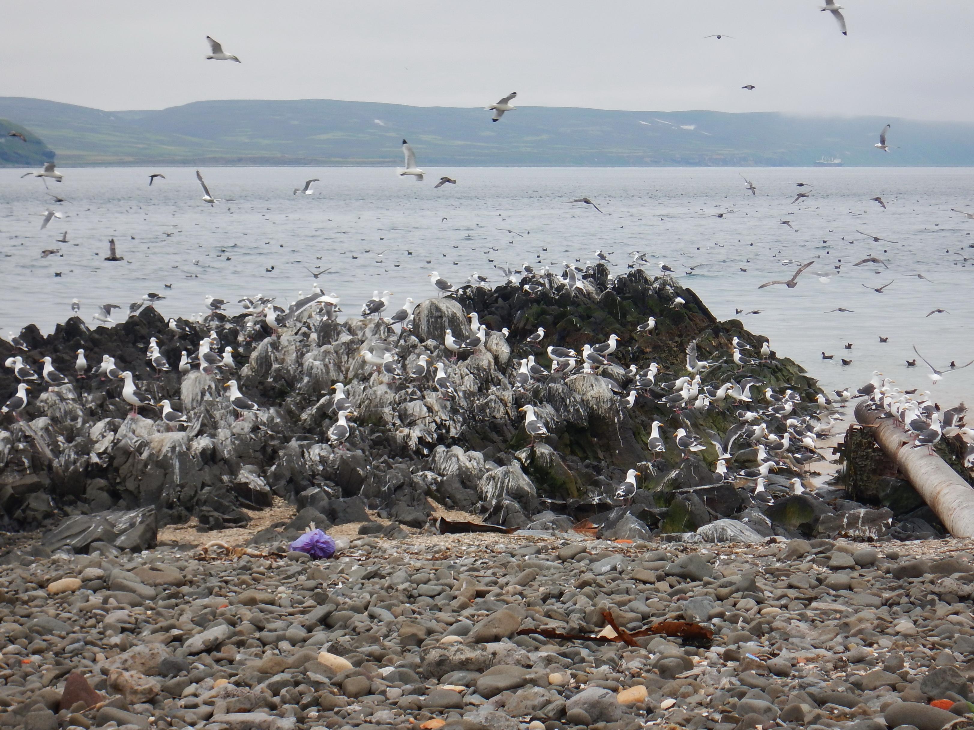 порт Северо-Курильска, чайки