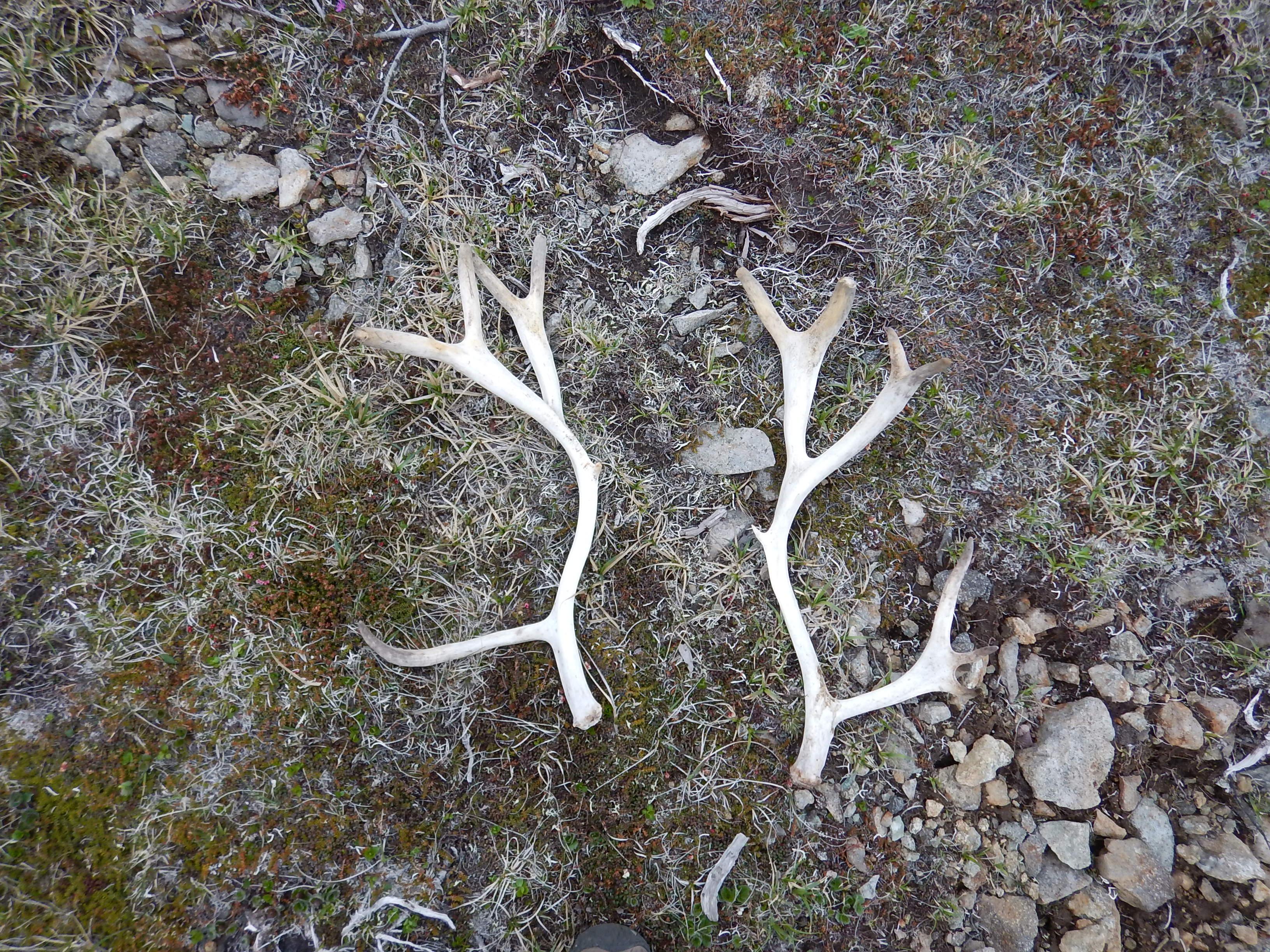 Курилы, остров Шумшу, оленьи рога